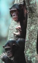bonobos in tree